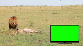 TV with green screen, lion, lioness in the savannah. stock video footage