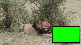 TV with green screen and a lion on the savannah. stock video