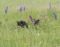 Två gröngölingar för svart björn som spelar i vildblommor Royaltyfri Fotografi