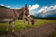 Två gulliga åsnor i Dolomites Arkivfoton