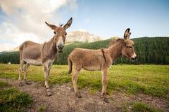 Två gulliga åsnor i Dolomites Royaltyfria Bilder