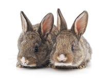 Tv? h?rliga kaniner arkivbild