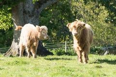 Två höglands- kalvar i Skottland Royaltyfria Bilder