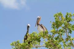Två härliga pelikan som sitter på trädfilialer Fotografering för Bildbyråer