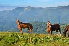 Två hästar betar på på bakgrund av berg (par, förälskelse, Royaltyfri Bild