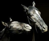 Två hästar med en vit eldsvåda på huvudet med halteren står bredvid de på en svart bakgrund Royaltyfri Foto