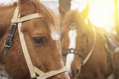 Två hästar som blir i solnedgång Arkivbild