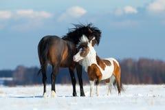 Två hästar som spelar i snön Royaltyfria Bilder