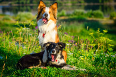 Två hundar för kantcollie i morgonen Arkivfoton