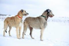 Två hundkapplöpning Arkivbilder