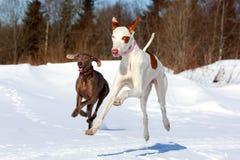 Två hundkapplöpning Royaltyfria Bilder