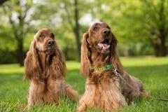 Två hundkapplöpning för irländska setter som ligger i gräs Arkivfoto