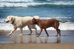 Hundkapplöpning på stranden Arkivbilder