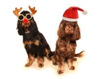 två hundkapplöpning i maskeradkläder Royaltyfri Fotografi