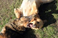 Två hundkapplöpning slåss Royaltyfria Foton