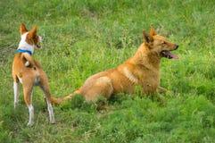 Två hundkapplöpning som håller ögonen på i vårgräs Arkivfoto