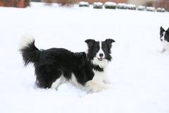 Två hundkapplöpning som spelar i snö Arkivfoto