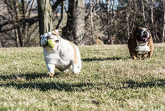 Två hundkapplöpning som spelar låset Arkivbilder