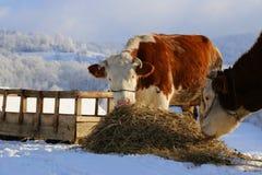 Två kor som äter hö Fotografering för Bildbyråer