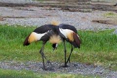 Två krönade den kranfåglar eller afrikanen krönade kranfåglar på Get Arkivfoto