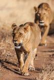 Två lejoninnor att närma sig och att gå raksträcka in mot kameran, Royaltyfria Foton
