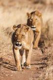 Två lejoninnor att närma sig och att gå raksträcka in mot kameran Royaltyfria Bilder
