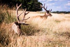 Två liggande deers i gräs som ett har, vilar i sommar Arkivfoton