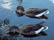 Två lösa gooses på vattennivå Fotografering för Bildbyråer