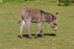 Två månader gammalt barn behandla som ett barn åsnafölet som går över ett fält Royaltyfria Foton