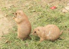 Två murmeldjur Fotografering för Bildbyråer