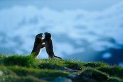 Två murmeldjur i berglandskap med härligt tillbaka ljus Stridighetdjur murmeldjur, Marmotamarmota, i gräset med naturro Royaltyfri Fotografi