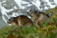 Två murmeldjur i berglandskap med härligt tillbaka ljus Stridighetdjur murmeldjur, Marmotamarmota, i gräset med naturro Arkivfoton
