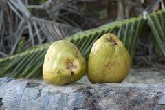 Två nya gröna kokosnötter Royaltyfri Fotografi