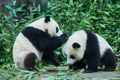 Två pandabjörngröngölingar som spelar Sichuan Kina Fotografering för Bildbyråer