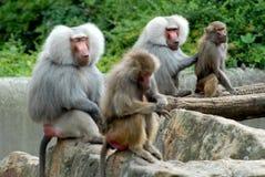 Två par av mödrar och deras unga apor i zoo i Berlin i Tyskland Fotografering för Bildbyråer