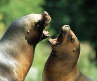 Två Patagonian sjölejon Royaltyfri Bild