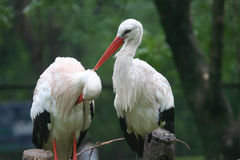 Två pelikan Arkivfoton