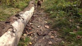 Två rashundar som går på banan arkivfilmer