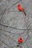 Två röda kardinaler som sitter i ett träd Arkivbilder
