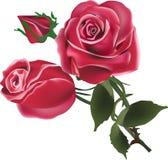Två röda rosblommor och knopp på vit Arkivfoto
