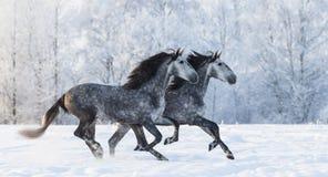 Två rinnande gråa fullblods- spanska hästar Royaltyfria Foton