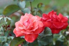Två rosor på en Bush Royaltyfri Bild