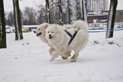 Två Samoyedhundkapplöpning som drar släden Fotografering för Bildbyråer