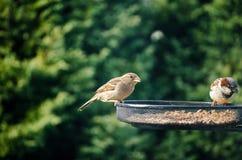 Två sparvar som äter frö från en fågelförlagematare i trädgården med Royaltyfri Fotografi