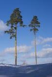 Två sörjer träd på en kulle Arkivfoton