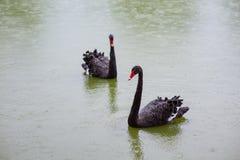 Tv? svarta svanar i ett damm fotografering för bildbyråer