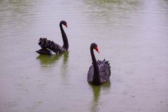 Tv? svarta svanar i ett damm arkivfoto