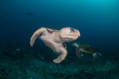 Två undervattens- hawksbillsköldpaddor Royaltyfri Bild