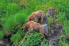 Två unga björnar som stirrar på ett hot Royaltyfri Fotografi