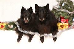 Två ursnygga svarta hundkapplöpning med julgarneringar Royaltyfri Fotografi